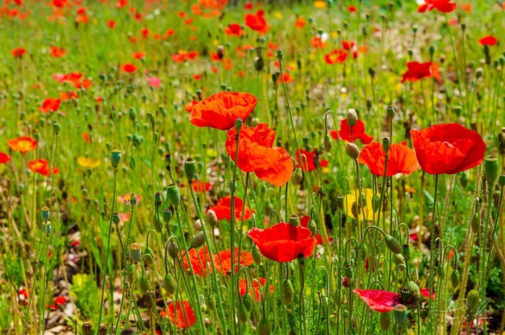 Field of poppies, South Korea