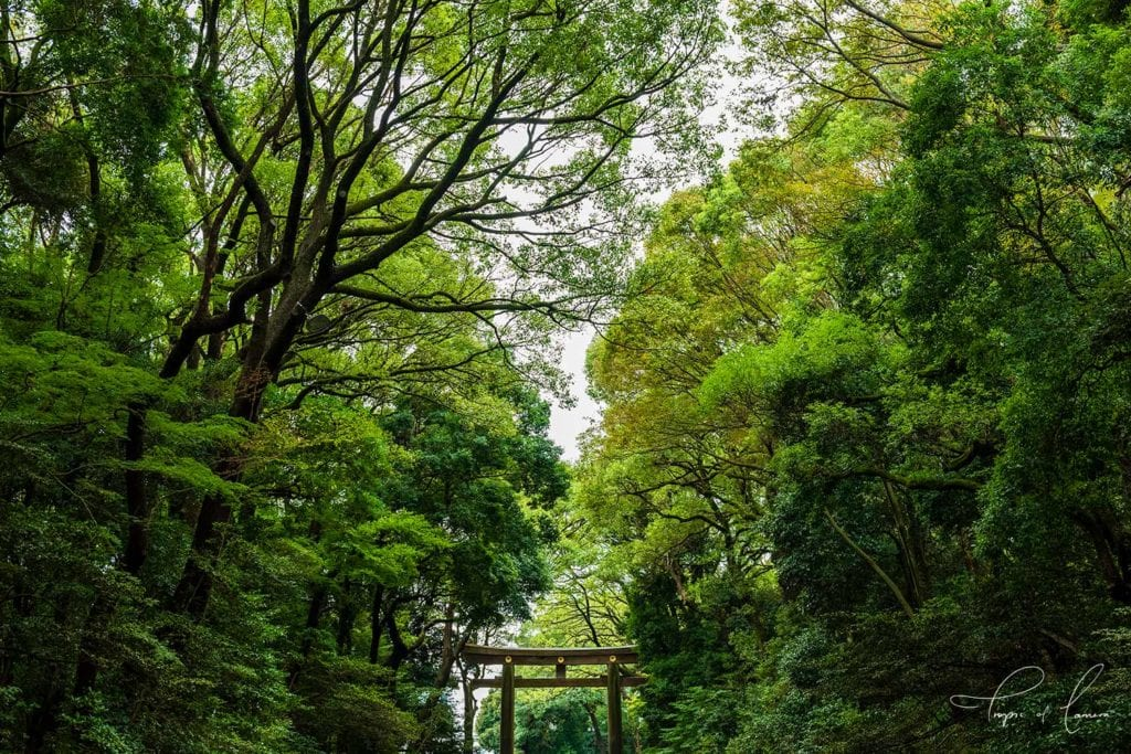 Green trees at Meiji Jingu Shrine in Harajuku, Tokyo - Japan