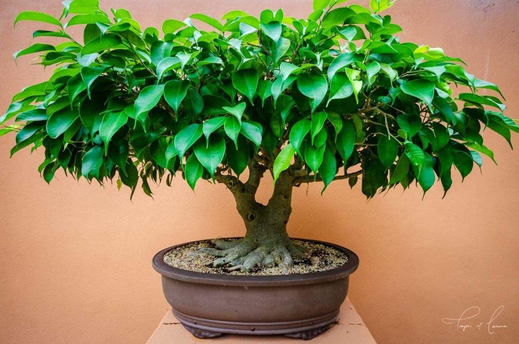 Bonsai tree at Brisbane Botanic Gardens