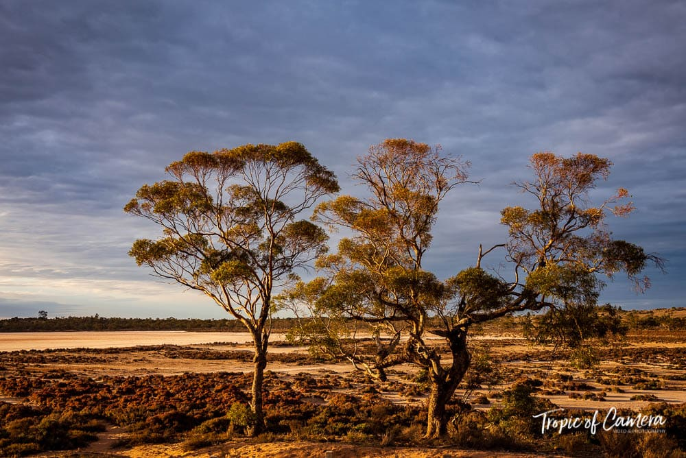 Gum trees at Murray Sunset National Park