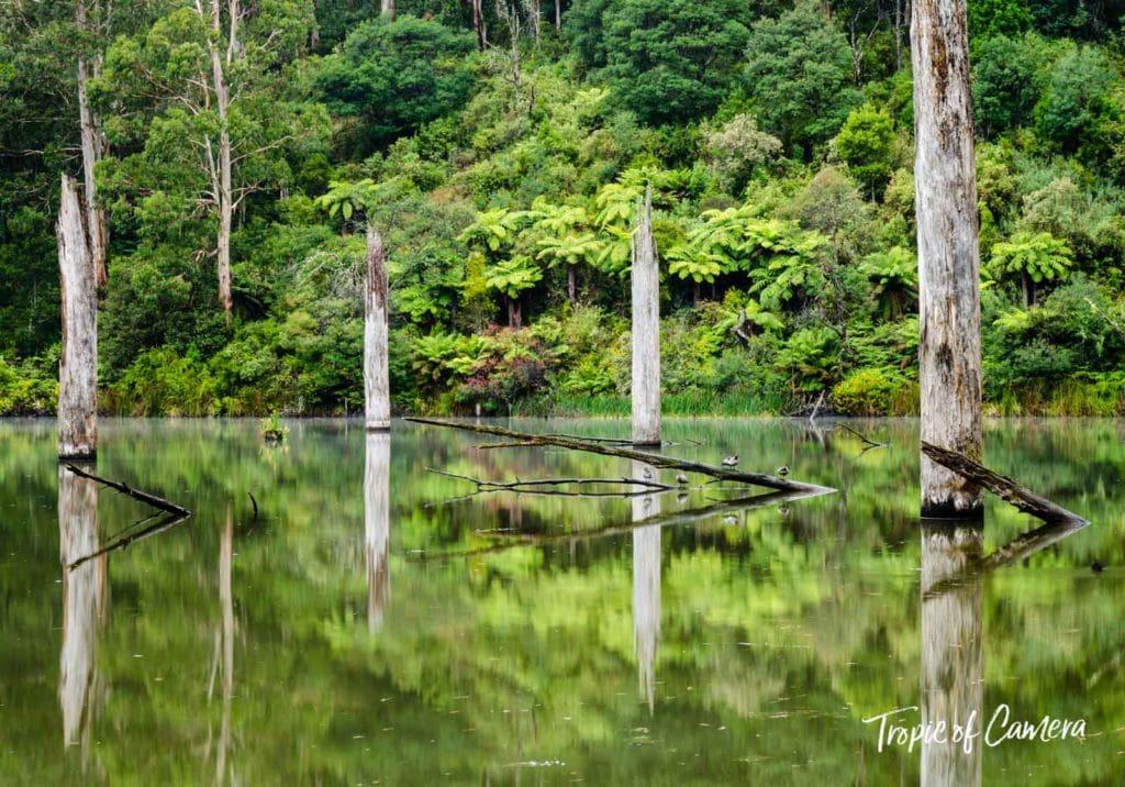 Dead eucalyptus trees reflected in Lake Elizabeth, Australia