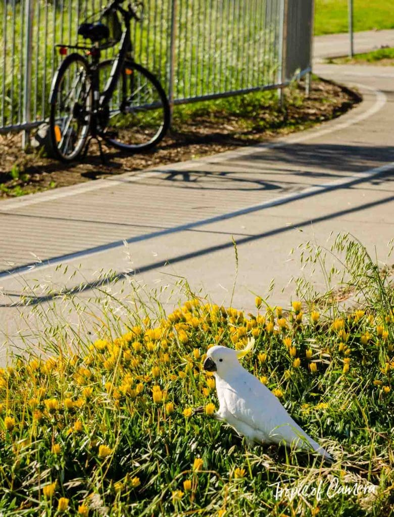 Cockatoo against the bike trail in Melbourne