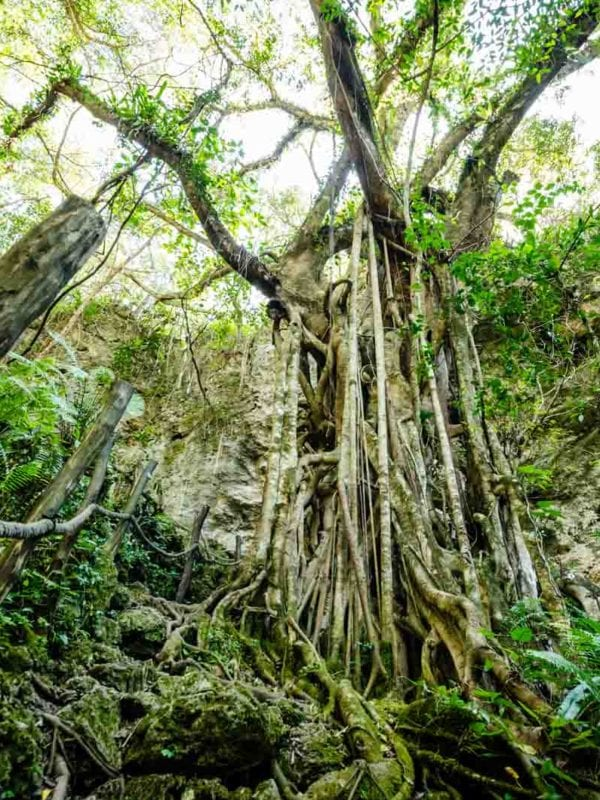 Enormous strangler fig in New Caledonia