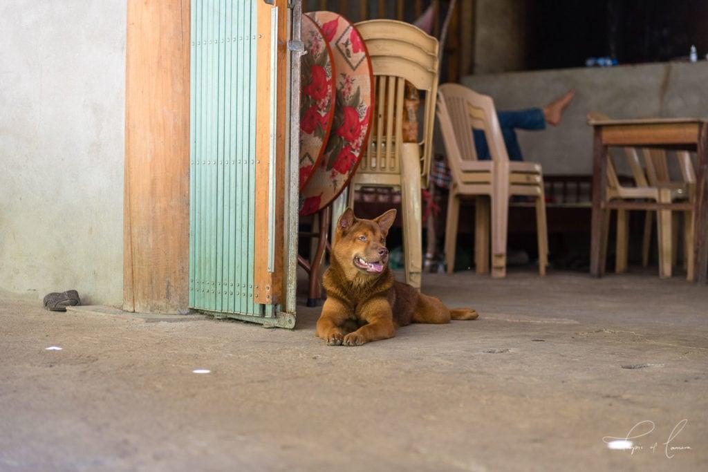 Dog resting in restaurant in Ba Be National Park, Vietnam