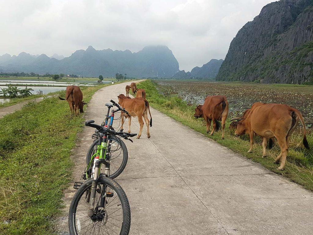 Buffalo blocks the road for cyclists in Ninh Binh, Vietnam