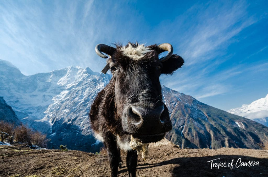 A yak shot with a wide-angle lens in the Himalayas, Nepal