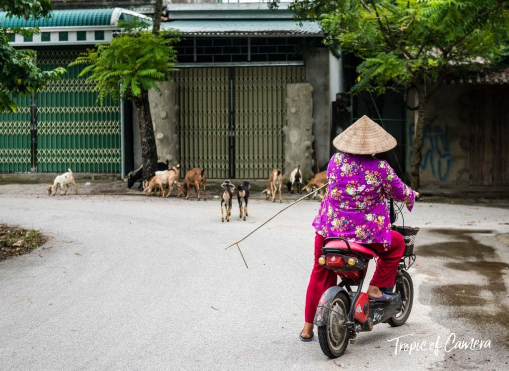 A woman in a conical hat guides goats on a motorbike, Vietnam