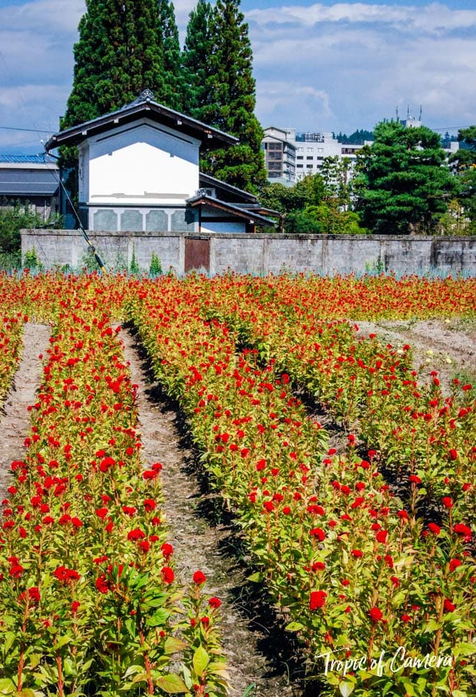 Field of flowers in Takayama, Japan