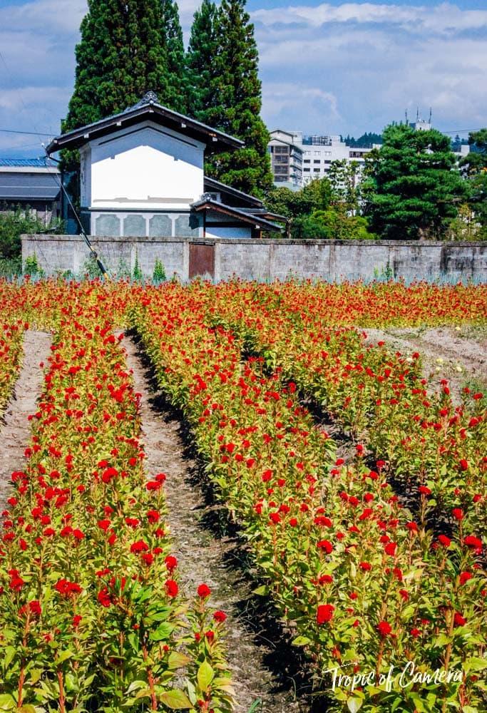 Field of flowers in Takayama, Japan
