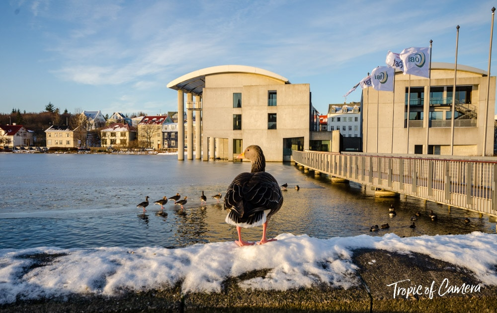 A duck on the edge of Tjornin Lake in Reykjavik, Iceland