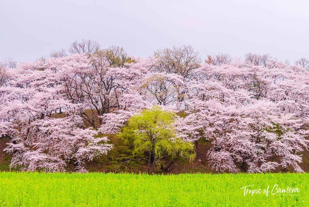 Cherry blossom trees in Gyeongju, South Korea