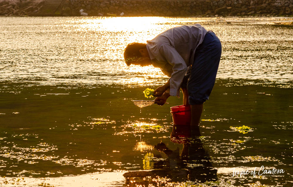 Man collecting seaweed in Namhae, South Korea
