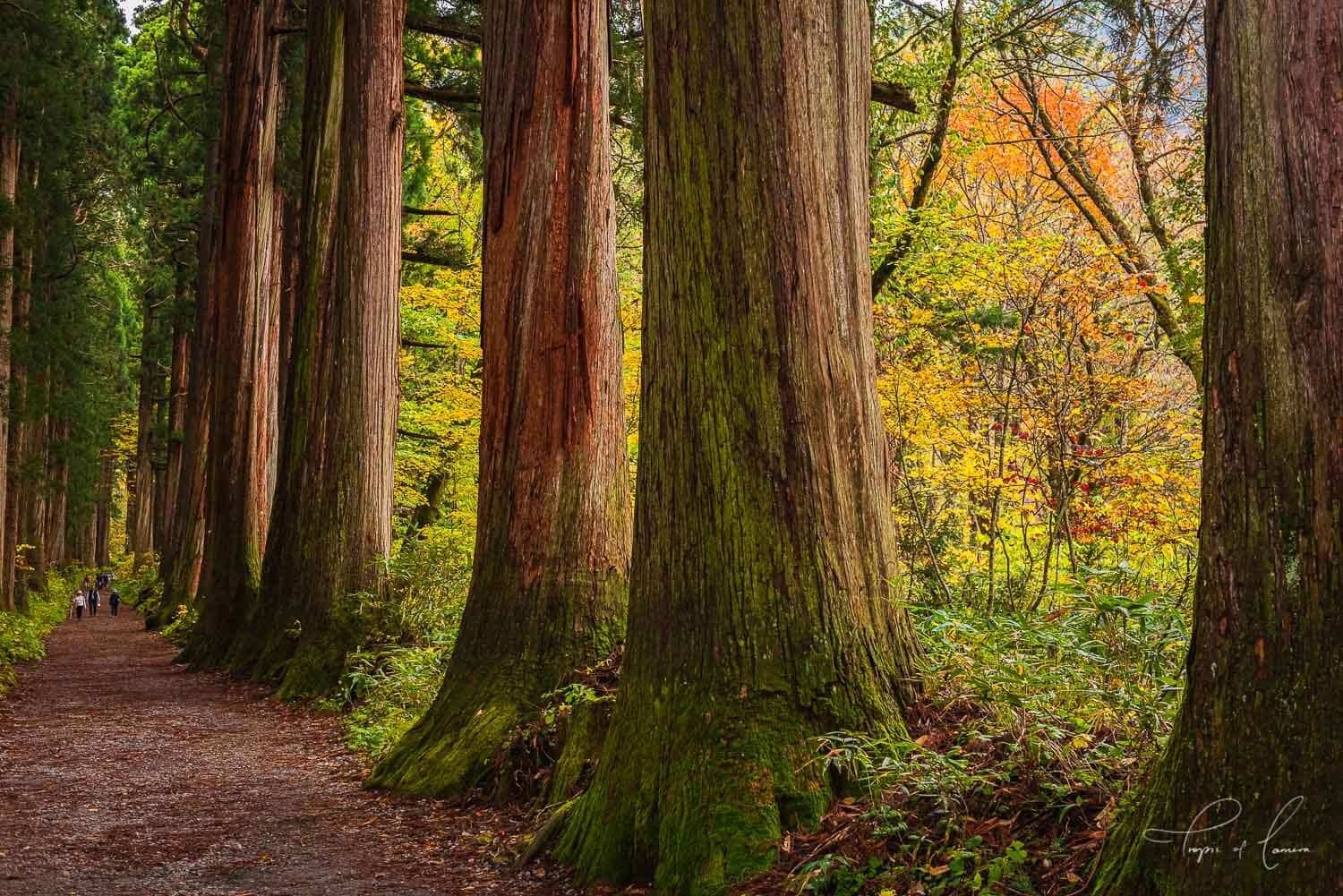 400 year old cedar trees on the path to Togakushi Upper Shrine